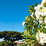 【ハワイの花のある暮らし】ハワイとプルメリアのはなし