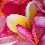 【ハワイの花のある暮らし】ハワイのプルメリアの種類