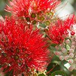【ハワイの花のある暮らし】ハワイ島の花、オヒアレフア①