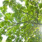 【ハワイの花のある暮らし】ハワイアンの重要なカヌープランツのひとつ ウル(パンの木)