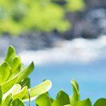 【ハワイの花のある暮らし】愛の神話が有名な山と海のNaupaka(ナウパカ)