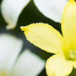 【ハワイの花のある暮らし】絶滅したと思われていた固有種の復活のお話 Alula(アルラ)