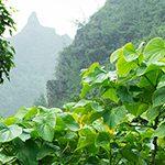 【ハワイの花のある暮らし】Hawaiian Kava ハワイのAwa/Kava(アヴァ/カヴァ)
